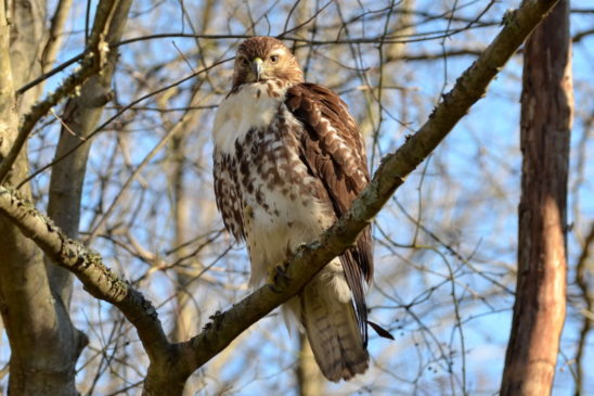 red-tail-hawk-3