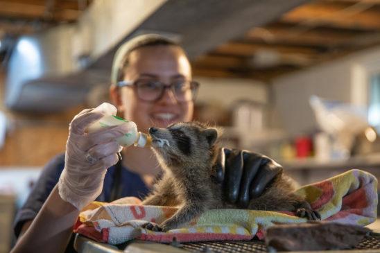 feeding-raccoon